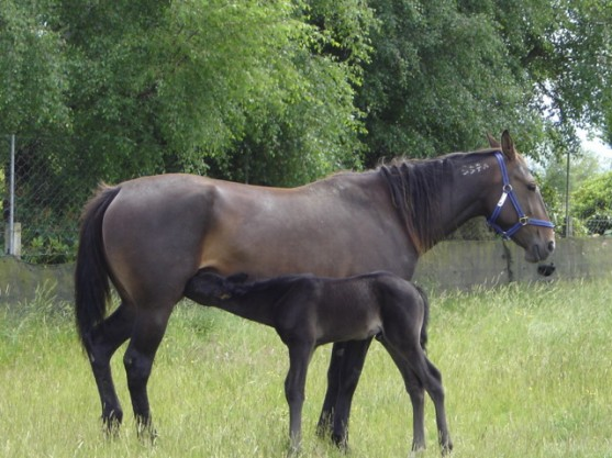 Horse getting milk from its mum