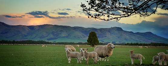 Sheep hanging out in paddock